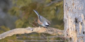 Boreal Chickadee by Clinton Nienhaus