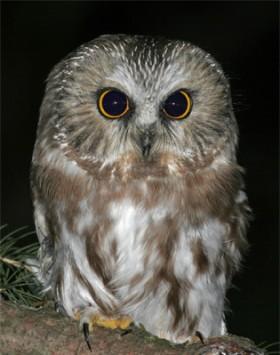 Evening Owl Programs-Fall 2021 @ Hawk Ridge Bird Observatory | Duluth | Minnesota | United States