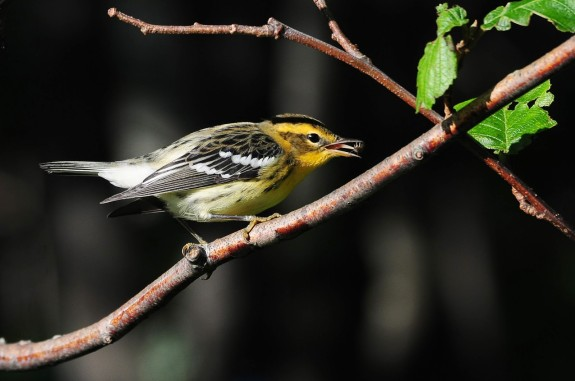 Blackburnian Warbler with bug