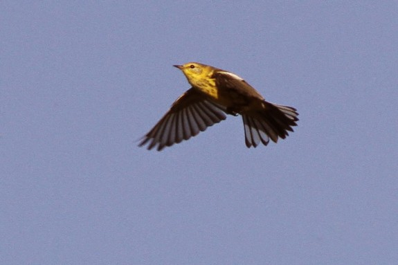 Cape May Warbler in flight.