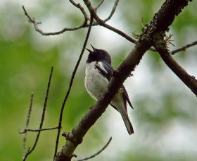 Black-throated Blue Warbler by Laura Erickson