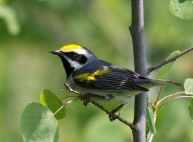 Spring Warblers Workshop Cancelled @ Sugarloaf Cove Nature Center | Schroeder | Minnesota | United States