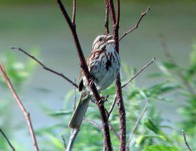 Song Sparrow by Laura Erickson