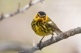 Pick a Bird Brain - Warblers!